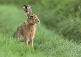 Beautiful Norfolk wild hare sat on grass
