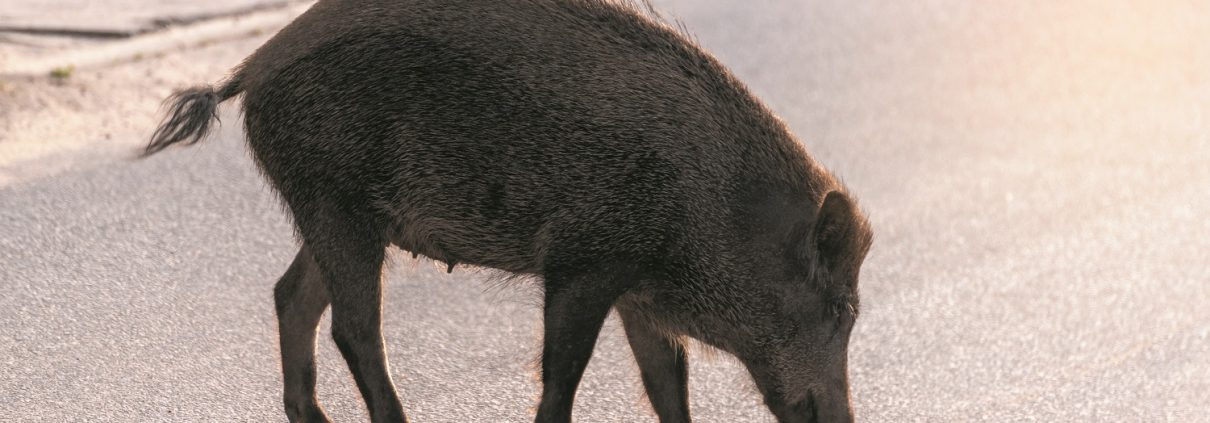 Wild boar walk on the street in the city and looks for food.